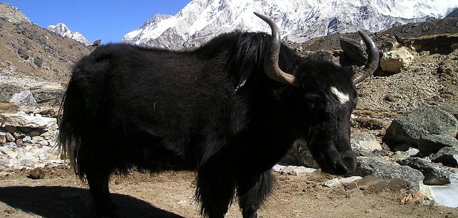 Гималайский як